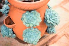 Succulente verde di Echeveria nel vaso Immagini Stock