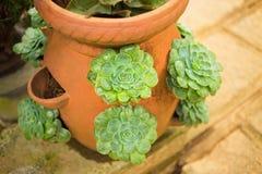 Succulente verde di Echeveria nel vaso ceramico Immagini Stock Libere da Diritti