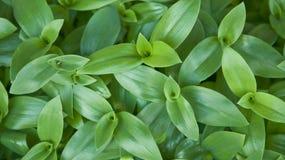 Succulente wijnstok Stock Foto's