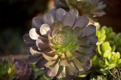 Succulenti Fotografie Stock Libere da Diritti