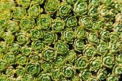 Succulenti al sole fotografie stock