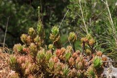 Succulenti che crescono nella foresta vicino ad Adalia fotografia stock