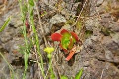 Succulenti che crescono sulle rocce sull'isola del Madera Fotografia Stock