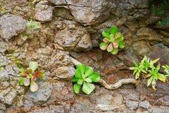 Succulenti che crescono sulle rocce sull'isola del Madera Fotografia Stock Libera da Diritti