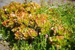 Succulenti che crescono sulle rocce sull'isola del Madera Immagine Stock Libera da Diritti