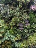 Succulenti continuati Fotografia Stock