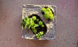 Succulenti del bambino in vaso di fiore concreto immagine stock