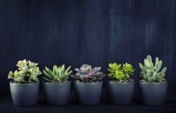 Succulenti differenti sopra il backgriund nero immagini stock