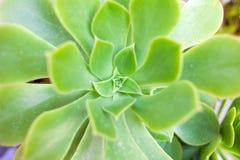 Succulenti e cactus nel giardino Echeveria Immagini Stock Libere da Diritti