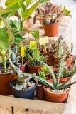 Succulenti e fiori di fioritura del cactus Fotografia Stock Libera da Diritti