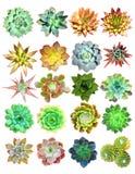 Succulenti isolati Fotografie Stock