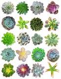 Succulenti isolati Fotografia Stock