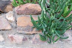 Succulenti o cactus nel giardino botanico del deserto Fotografie Stock Libere da Diritti