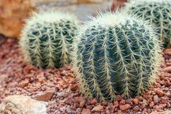 Succulenti o cactus nel giardino botanico del deserto con il fondo dei ciottoli della pietra della sabbia succulenti o cactus per Fotografie Stock Libere da Diritti