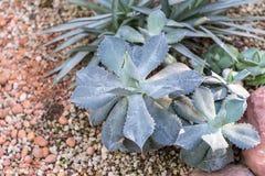 Succulenti o cactus nel giardino botanico del deserto e nel fondo di pietra dei ciottoli succulenti o cactus per la decorazione Fotografia Stock Libera da Diritti