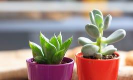 Succulenti in piccoli vasi Fotografia Stock