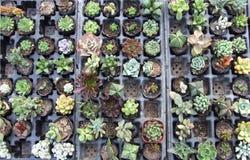 Succulenti ricchi e variopinti Fotografie Stock Libere da Diritti