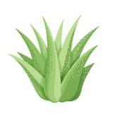 succulenti su fondo bianco Fotografia Stock