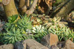 Succulenti su terra sabbiosa Immagine Stock