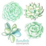 Succulents που σύρεται από τα μολύβια χρώματος διανυσματική απεικόνιση