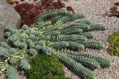 Succulents που φυτεύεται στις πέτρες Στοκ Εικόνες