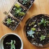succulents στοκ εικόνες με δικαίωμα ελεύθερης χρήσης
