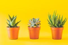 Succulents в желтом цвете Стоковые Изображения