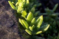 Succulents в солнечном свете Стоковое Изображение RF