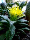 Succulents кактуса с желтым цветком стоковое изображение