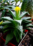 Succulents кактуса с желтым цветком 2 стоковые фото