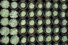 succulents молодые Стоковое Изображение