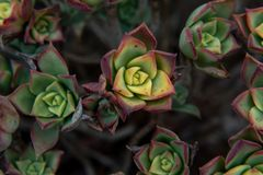 succulents Fotos de Stock Royalty Free