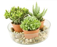 Succulents stockfoto