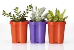succulents Immagini Stock Libere da Diritti