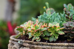 succulents Lizenzfreies Stockbild