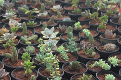 succulents Fotografia Stock