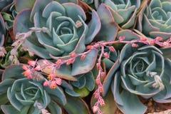 succulents Foto de Stock Royalty Free