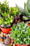Succulents Stock Photo