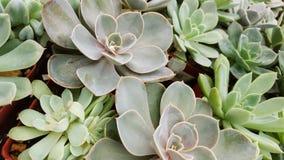 succulents Стоковые Изображения