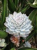 succulents Royalty-vrije Stock Afbeelding