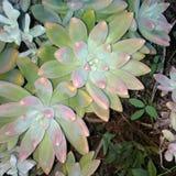 succulents Στοκ Φωτογραφίες