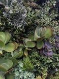 succulents Immagine Stock