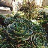 succulents Immagine Stock