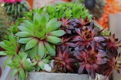 succulents Fotografie Stock