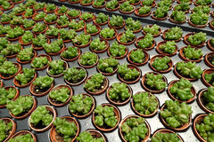 succulents Photo libre de droits