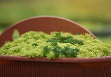 succulents Fotografia Stock Libera da Diritti