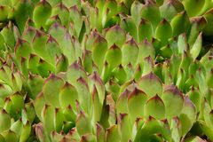 Succulents above stone wall Humbercrest Blvd Royalty Free Stock Image