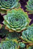 Succulents aeonium, close-up. Succulent aeonium, close-up. Macro Stock Photography