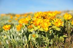 Succulents amarillos Fotografía de archivo libre de regalías
