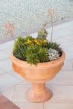 Succulents arrangement  in a big tuscan terracotta pot Stock Image